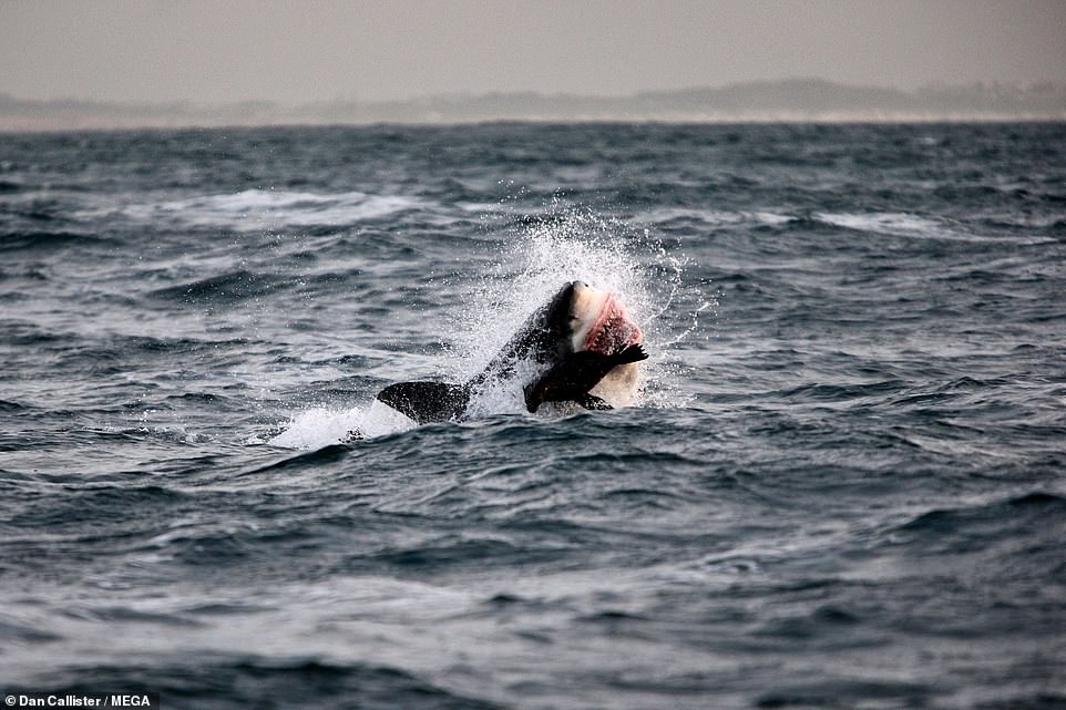 Local shark cage diving companies who attract eco-tourists and documentary film makers who come for sightings of the predators and to swim close to them significantly boost the Cape economy