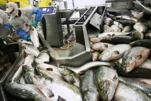 Workers handle salmon inside the Fjord Seafood Chile processing plant in Puerto Montt, Chile, on 13 July 2006.