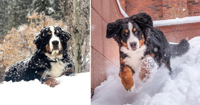 Mountain dog in the snow
