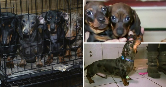 101 puppies were seized in a breeding probe in Manchester
