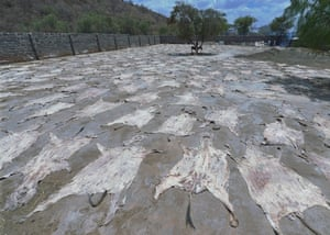 Donkey skins drying in the sun at a licensed donkey slaughterhouse in Baringo, Kenya.