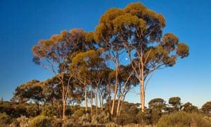 Eucalyptus trees in Western Australia.