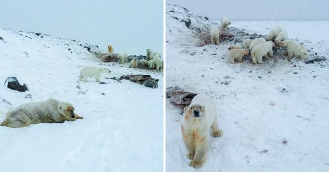 Polar bears circling the village of Ryrkaypiy in Russias easternmost region of Chuktoka