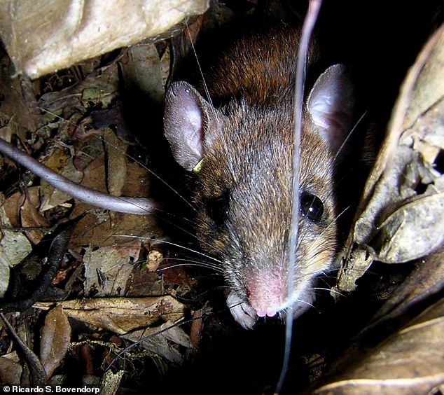 By measuring characteristics like ear, foot, and tail size in species like Euryoryzomys russatus, researchers can quantify functional diversity in large rainforests