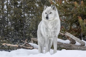 A gray wolf in Yellowstone national park, where the species has been successfully reintroduced.