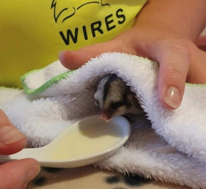 A baby possum is spoon fed some milk