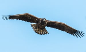One of the six sea eagles released on the Isle of Wight in 2017.