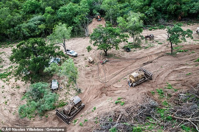 Deforestation in the Amazon (pictured) for logging and agriculture is decimating the rainforest. Greenpeace claims much of the soya produced for the UK's factory farmed animals is coming from deforested areas