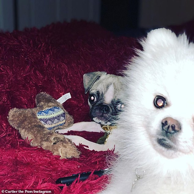 Fur babies: Courtney already replaced Dourtney with a white Pomeranian called Cartier, a Pug puppy called Gucci Gucci, and a grey cat called Cassanova (pictured January 10)