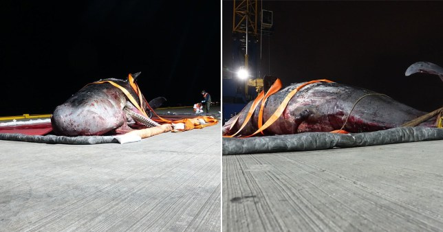 Scientists have conducted an examination of a sperm whale which stranded in the Thames estuary,