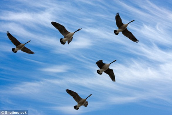 Birds fly in a v-formation to help them fly more efficiently, staying aloft while expending as little energy as possible (stock image)