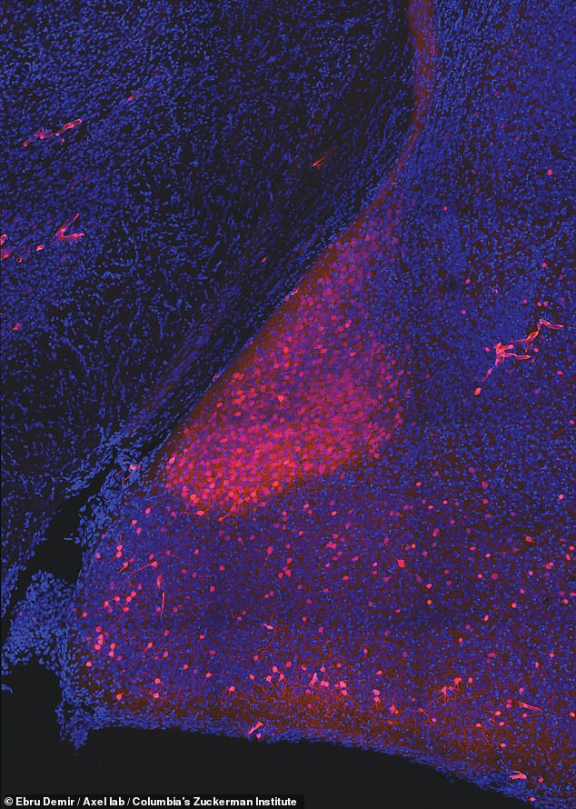 The team also found that a cluster of cells in one area of the mouse brain area, the medial amygdala, unifies this information from the outside world with the animal's own internal state. Pictured, neurons in themedial amygdala. Those activated by darcin are seen in orange