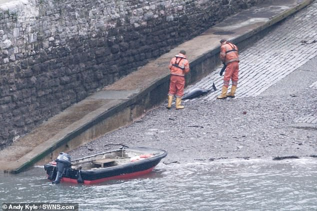 Andy Kyle, whose house overlooks the harbour at Kingswear, said it all began on Saturday at around 2pm, when he saw 'some activity' on the slipway leading down into the water (pictured, members of the harbour patrol find a dead dolphin on the slipway)