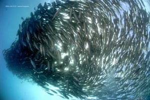 Fishing below an ocean's maximum yield allows faster recovery of fish stocks