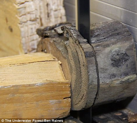 With advanced sonar machines, the researchers discovered even more trees, buried upwards of 10 feet beneath the sediment