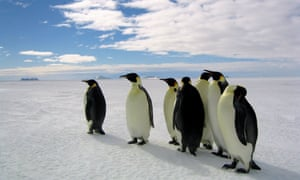 Photo of Emperor penguins standing on the ice, from the documentary March of the Penguins.