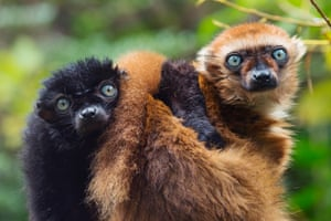 A female and male blue-eyed black lemurs (Eulemur flavifrons), also known as the Sclater's lemur.