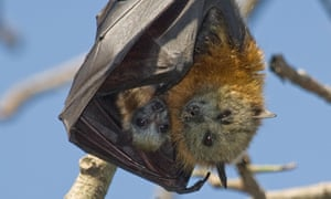 Threatened grey-headed flying-foxes.