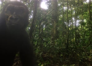 Wild western lowland gorillas have been pictured in central Rio Muni, Equatorial Guinea, for the first time in more than a decade.