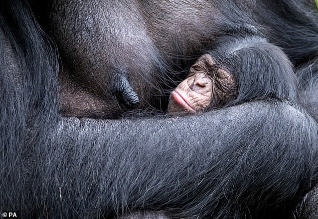 Mandy gave birth to the baby chimp, pictured, at Chester zoo on 21 August