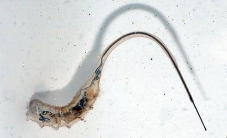 The aquatic larva of Myathropa florea is a rat-tailed maggot