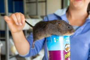 A water vole ready for release