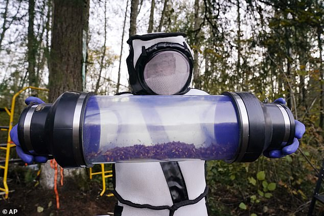 Heavily protected scientists eradicated the first murder hornet nest found in the US over the weekend using a vacuum to suck the insects out of the tree