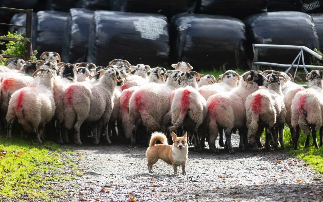 Daphne the corgi having successfully herded a flock of sheep