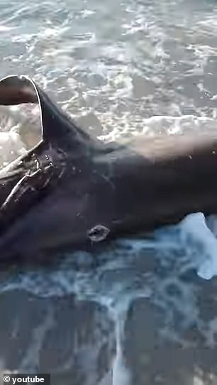 The team notes that most of the attacks on sharks are done by juveniles, but the thresher shark was an adult and nearly the same size as the swordfish
