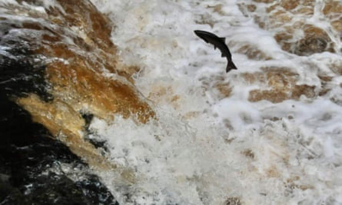 A salmon jumping at Stainforth Force, near Settle in North Yorkshire.