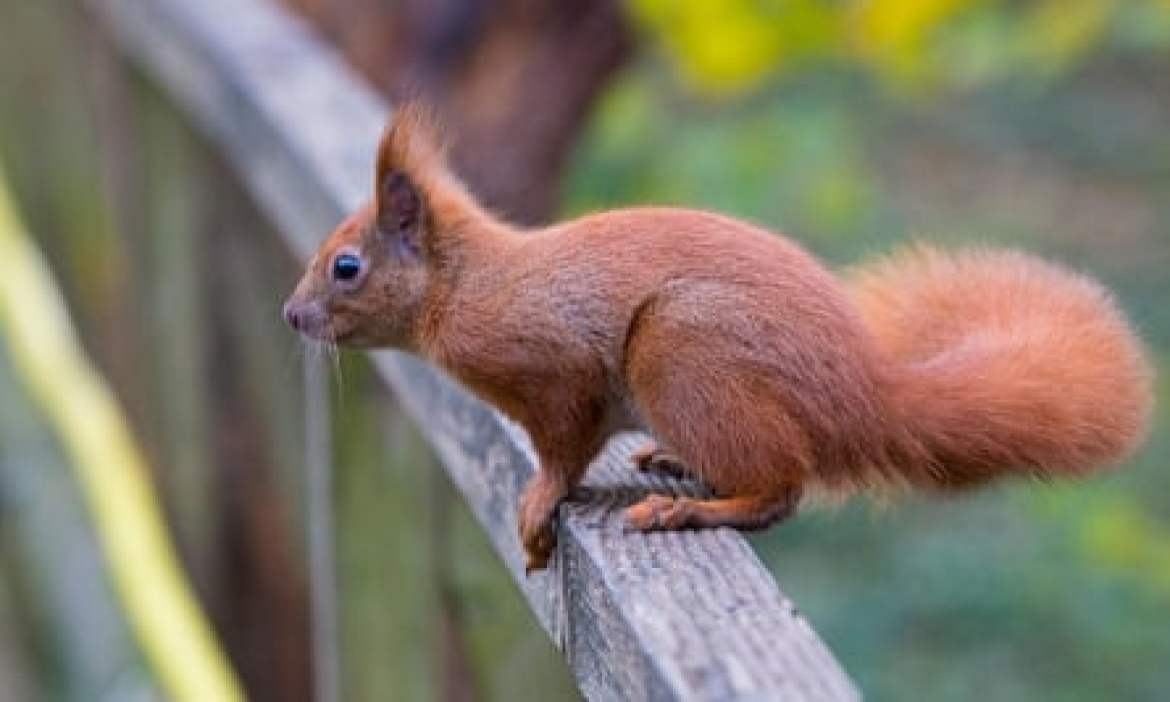 An Isle of Wight red squirrel