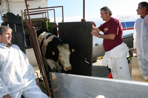 70 de vacute Holstein Friza vor ateriza la Timisoara