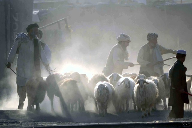 A vendor bringing sheep to sell at the cattle market in Chaman. Photo by Matiullah Achakzai/News Lens Pakistan
