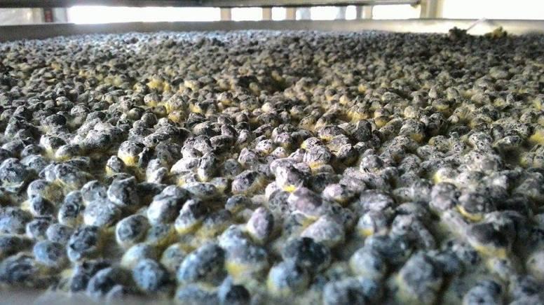煮熟後的黑豆需花約1週的時間佈麴,溫度、濕度、麴菌生長情形都會影響醬油品質。(圖/潘子祁攝)