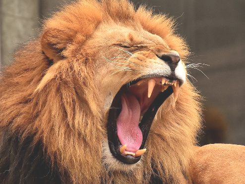 India Man In Trouble For Using Lion As 'Maiguard' In Lagos