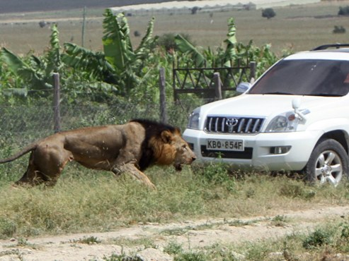 Escaped Lion Mauls Man o Death Outside Safari Park, Remains On The Loose