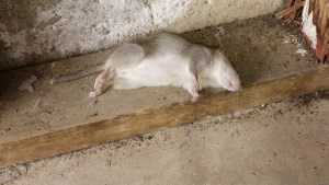 You could end up as dead as this rat if you take synthetic marijuana containing an ingredient commonly found in rat poison. Photo: John Loo