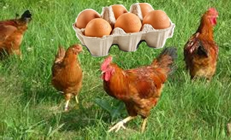 Home detention for selling caged eggs as 'free range'