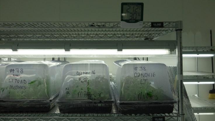 Salle de clonage de cannabis