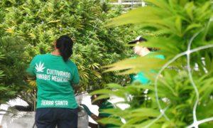 Culture de cannabis au Mexique