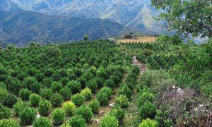 Cannabis médical en Albanie