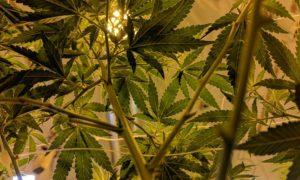 Marché européen du cannabis médical