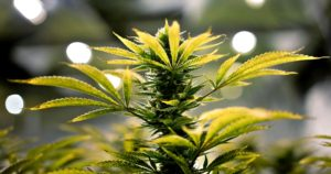 Sondage sur la légalisation du cannabis aux Etats-Unis