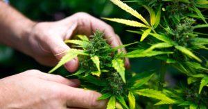Légalisation du cannabis médical en Indonésie
