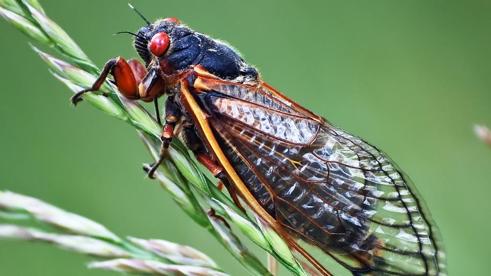https://i1.wp.com/www.newswise.com/images/uploads/2013/04/12/cicada.jpg