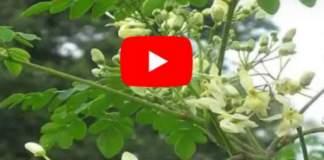 moringa-leaves-uses