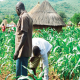Flour millers distribute N150m seeds to farmers