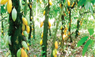 The amazons of cocoa farms (II)