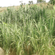 Sugarcane: Economic prosperity in a stick