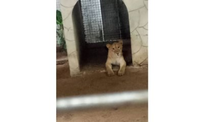 Police discover lion at residential building in Lagos
